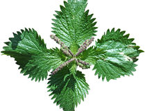 Nettle on white Stock Photo