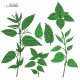Nettle wild field flower  on white background botanical hand drawn sketch vector doodle colorful illustration. Urtica dioica for design package tea, cosmetic Royalty Free Stock Photo