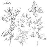 Nettle wild field flower  on white background botanical hand drawn sketch vector doodle illustration Urtica. Dioica for design package tea, organic cosmetic Royalty Free Stock Images