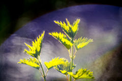 Nettle and wild nature Royalty Free Stock Photography