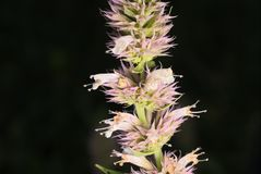 Nettleleaf giant hyssop. Or Agastache urticifolia royalty free stock photography