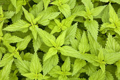 Nettles. Green nettles at Basque Country stock photos