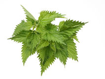 Nettles. Handful of nettles on a white background Royalty Free Stock Images