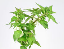 Nettles. White medicinal plants in the studio Stock Photography