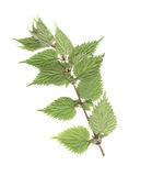 Nettles. On a white background Stock Image