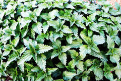 Nettles background Royalty Free Stock Photos