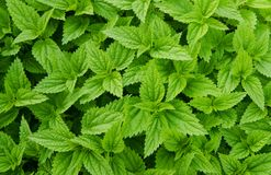 Nettles background royalty free stock photo