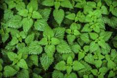 Nettles. Close detail of stinging nettles background Royalty Free Stock Photos