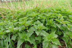 Nettles plants and leaf. In the nature stock photos