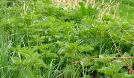 Nettles plants and leaf. In the nature royalty free stock image