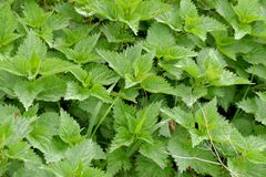 Nettles plants and leaf. In the nature royalty free stock images