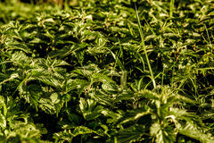 Nettles. In the setting sun in a group Stock Images