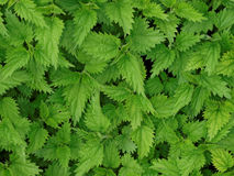 Nettles. Stinging plants with medicinal properties Royalty Free Stock Photos