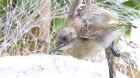 Netto de vogel wordt gebruikt om rijpe vruchten te verhinderen wordt gegeten door wilde vogels De mus die door netto vogel wordt  stock footage