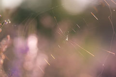 Netto för spindel som ses mot solljus på en Heath Landscape fotografering för bildbyråer