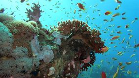 Nettofeuer-Coral Millepora-dichotoma, greller Glanz des Sonnenlichts auf bunten Korallen nahe der Wasseroberfläche stock video
