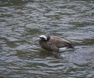 Nettoyage d'oie sur une rivière Images stock