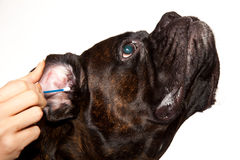Nettoyage d'oreilles de crabot de boxeur Photographie stock libre de droits