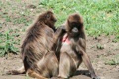 Nettoyage de babouins Photographie stock libre de droits