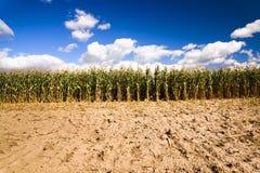 Nettoyage de maïs Photos libres de droits