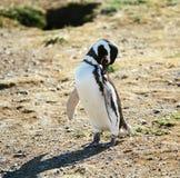 Nettoyage de pingouin Image libre de droits