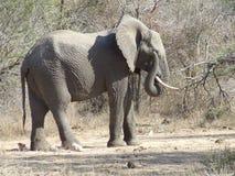 Nettoyage occupé d'éléphant son oeil Photographie stock libre de droits