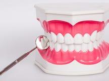 Nettoyez le dentier de dents, modèle dentaire de mâchoire photographie stock libre de droits