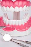 Nettoyez le dentier de dents, modèle dentaire de mâchoire photos libres de droits