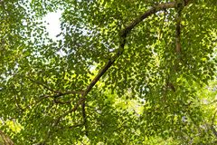 Neture-Beschaffenheit, Pepal-Baum-Blätter, gree lässt Hintergrund stockfotografie