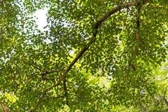 Neturetextuur, Pepal-Boombladeren, de Achtergrond van greebladeren stock fotografie