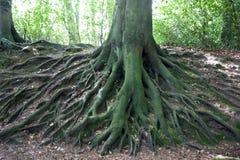 Netwerk van wortels van grote oude boom Royalty-vrije Stock Fotografie