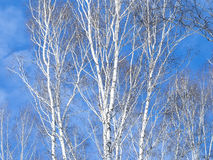 Network birch branches against the sky. Some tree trunks. Daylight, sunny day, winter time, view from below Royalty Free Stock Images