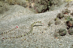 Network pipefish Royalty Free Stock Images