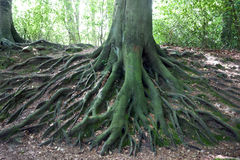 Network of roots from big old tree Royalty Free Stock Photography