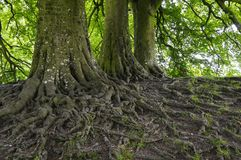 Network of Roots. A network of roots in famous avebury Royalty Free Stock Photos