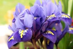 Netzförmige Iris Lizenzfreies Stockfoto