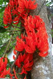 Neu-Guinea Kriechpflanze Stockfotos