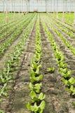 Neuanpflanzung des jungen Salats stockfotografie