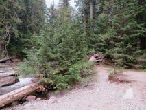 Neue Bäume, die auf einem gefallenen alten Baum am Glacier Nationalpark wachsen Stockbilder