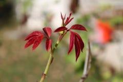 Neue Blätter der Rotrose vom Hinterhof stockfoto