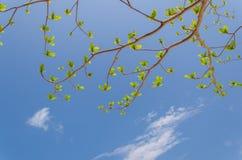 Neue Blätter, die auf hellem Hintergrund des blauen Himmels wachsen Stockbild