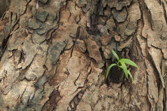 Neue Blätter getragen auf altem Baum Stockfoto