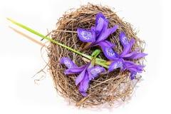 Neue Blüte Briza, purpurrote Blume zerreißt Kuckuck im Nest, Feinkostgeschäft Lizenzfreies Stockfoto