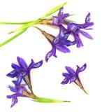 Neue Blüte Briza, purpurrote Blume zerreißt Kuckuckperspektive delica Stockfotos