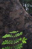 Neue Blätter getragen auf altem Baum Lizenzfreies Stockfoto