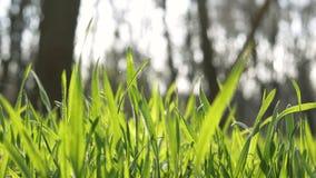 Neue Einflüsse des grünen Grases der Nahaufnahme im Wind im Wald stock video footage