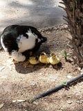 Neue Enten in der Welt lizenzfreies stockfoto