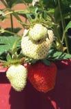 Neue Erdbeeren Lizenzfreies Stockfoto