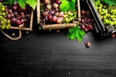 Neue Ernte von roten und grünen Trauben Stockfotografie