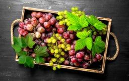 Neue Ernte von roten und grünen Trauben auf Behälter Lizenzfreie Stockbilder